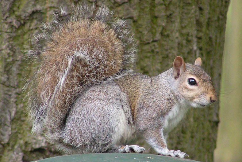 Eastern_Gray_Squirrel_800